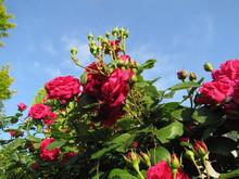 20120626lakegarden_redrose.JPG