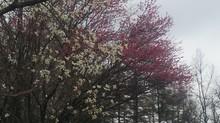 20140429kobusi&sakura.JPG
